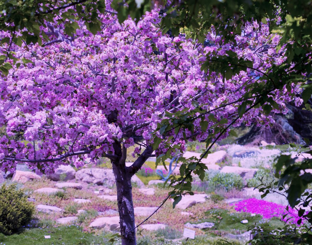 A Crabapple tree brightens up the Yampa River Botanic Gardens.