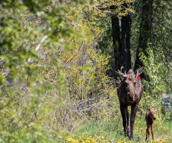 A moose cow and her calf walk near Fetcher Pond and the Yampa River Botanic Park.