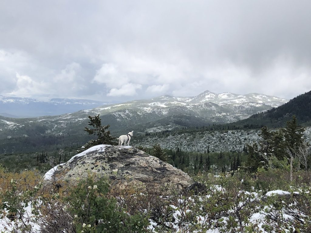 A dog looks out over his new kingdom atop Buffalo Pass.