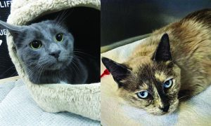 Routt County adoptable pets: Sabel and Aida the cats