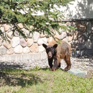 How to: Follow these smart, practical tips to bear-proof your home and property and avoid bear encounters