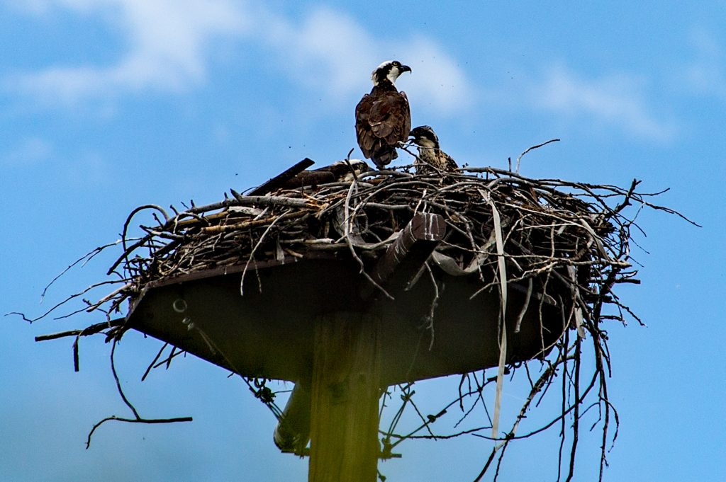 The osprey at Yampa Valley Botanic Park has a new addition to their nest.