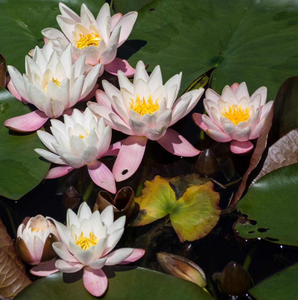 Water lilies bloom vividly in the Yampa River Botanic Park.