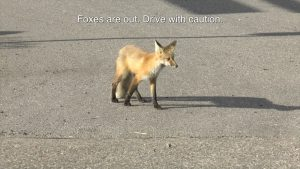 VIDEO: FOXES