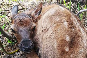Collared elk migrates over 250 miles through Steamboat and over Continental Divide to give birth