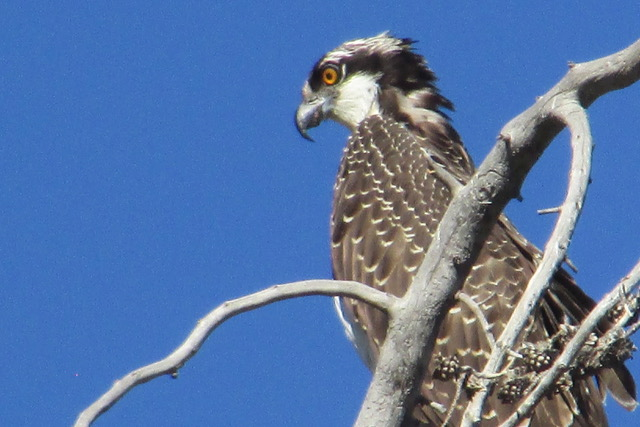 A an osprey looks out of its nest.