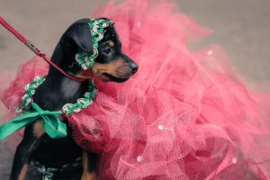 Steamboat Whiskey Co. to host dog-gone good time at inaugural Puppy Pageant