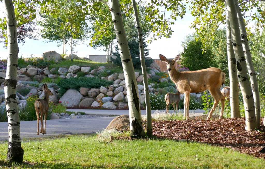 Four deer visit a backyard along Fish Creek Falls Road.