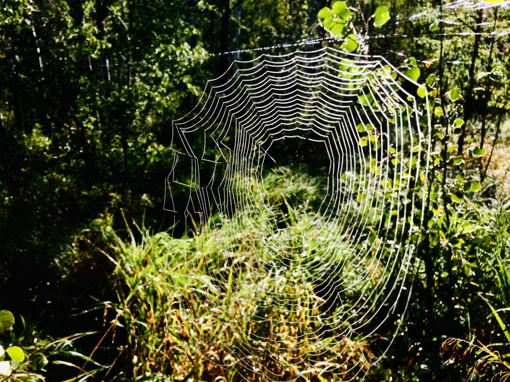 A massive spider's web is woven along Sarvis Creek Trail.