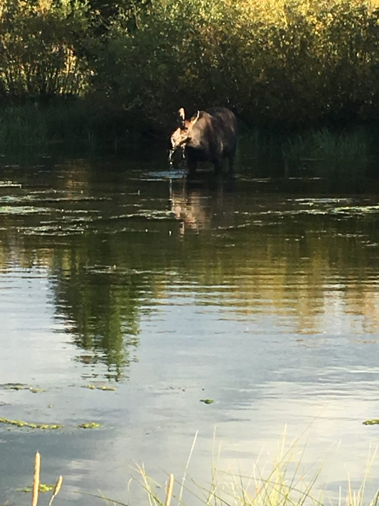 A moose grabs a drink from Trappers Lake in the Flat Tops Wilderness Area.