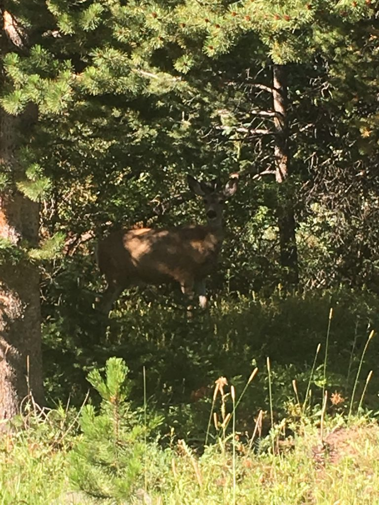 A deer appears near Trappers Lake in the Flat Tops Wilderness Area.