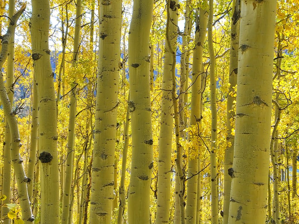 Aspens at Mandall Basin, Flat Tops Wilderness Area