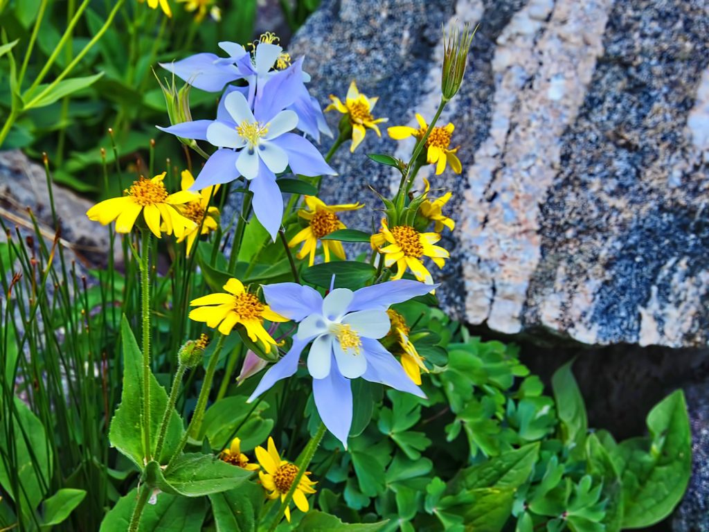 Columbines in the Mount Zirkel Wilderness