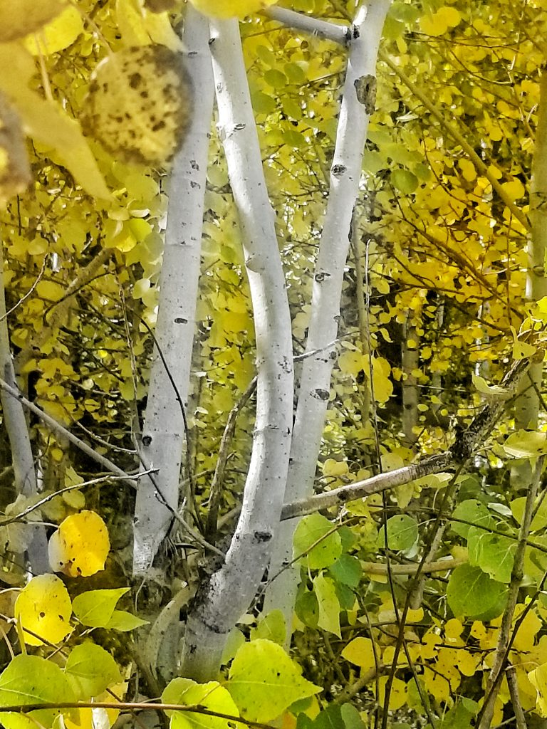 Aspen starting to turn. Another pic from Routt County Road 62 behind Steamboat Lake.