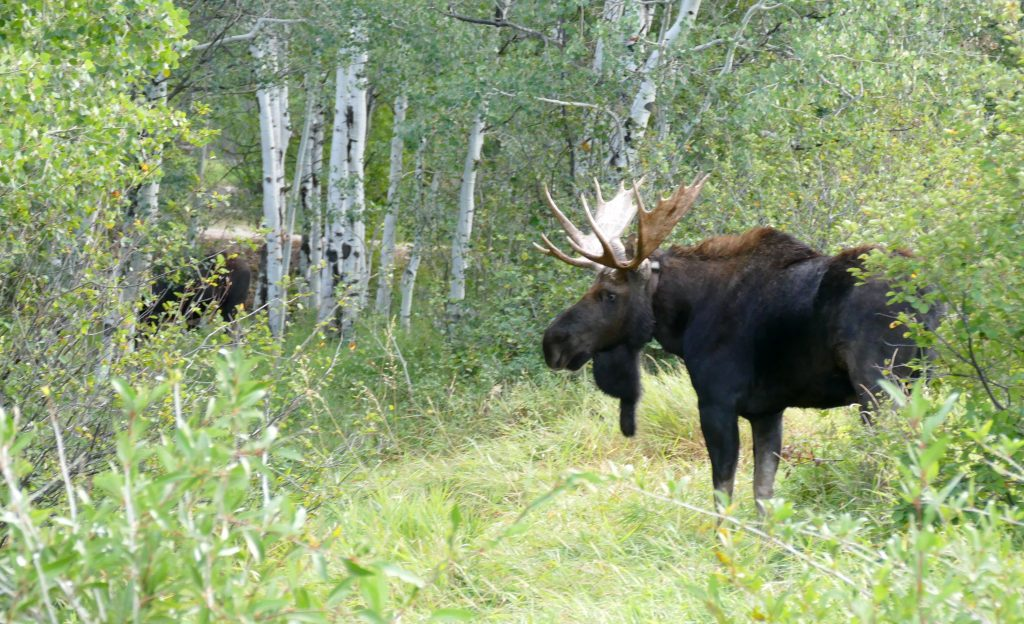 A bull moose visits a field in Steamboat Springs.