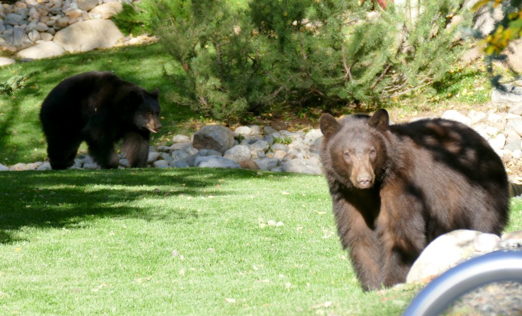 A pair of bears frolicking and eating berries at the Pines at Ore House this afternoon in Steamboat Springs.