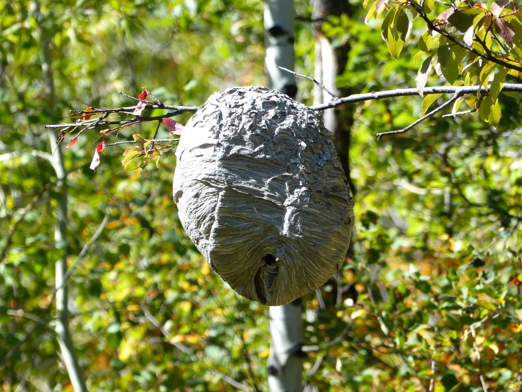 Hornets nest on Sanctuary Trail.