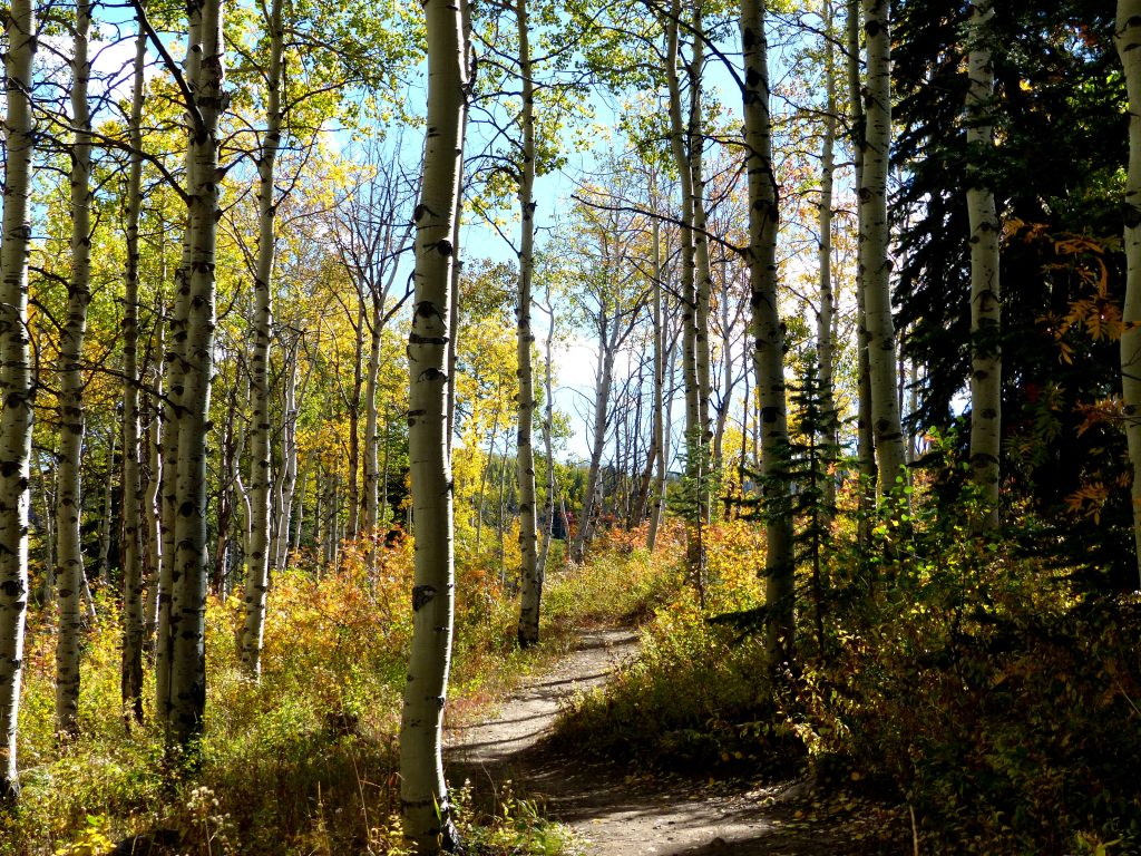 Great aspen leaves on Panorama Trail in Steamboat.