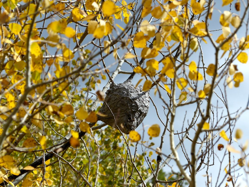 A hornets nest hiding in the yellow aspen trees.
