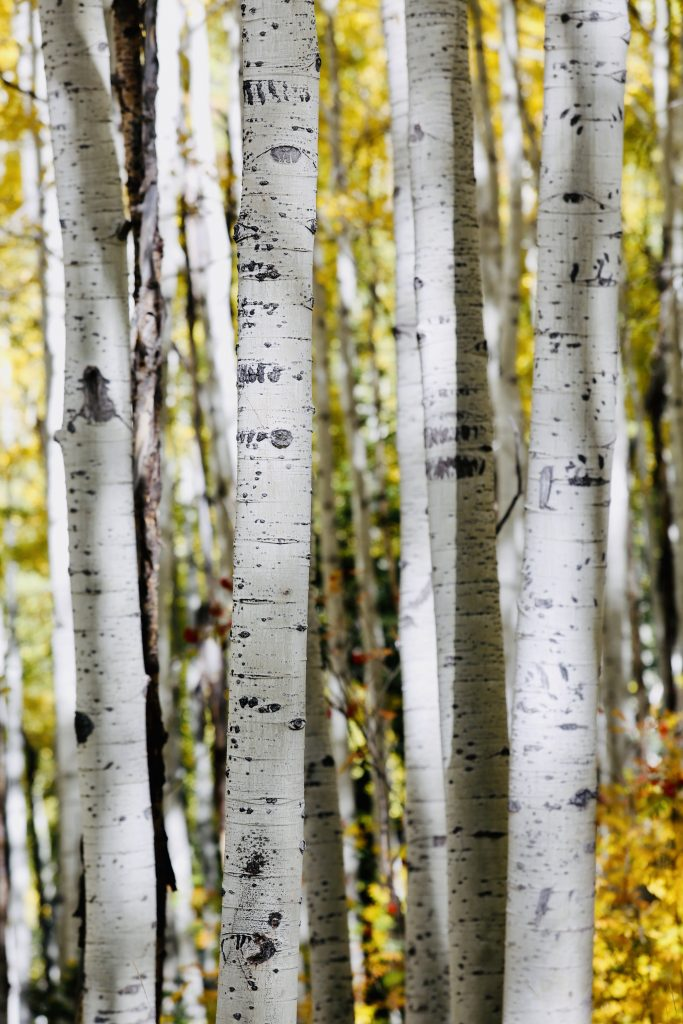The aspens along Flash of Gold Trail on Buffalo Pass are living up to the trail's name.