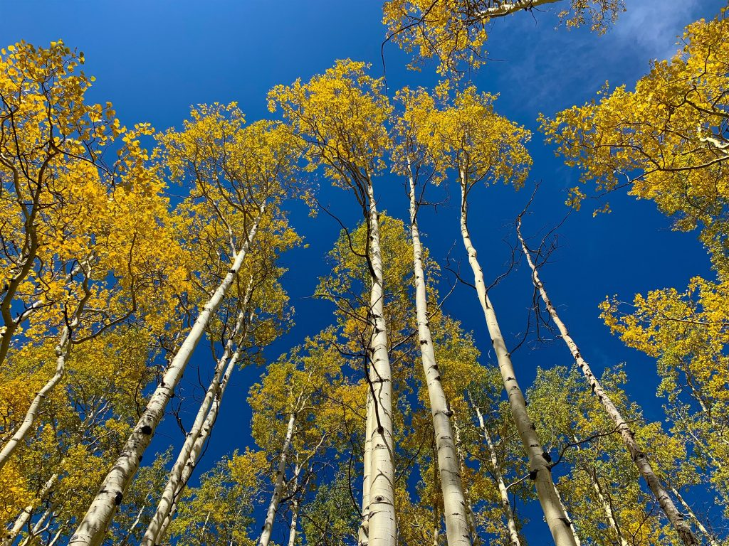 Aspen gold at Mandall Basin, Flat Tops Wilderness Area