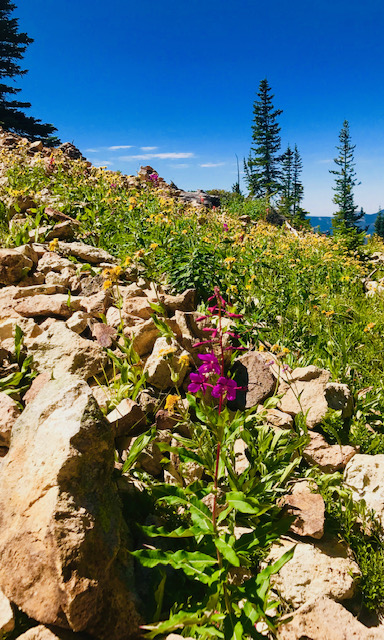 Wildflowers bloom on Hahns Peak.