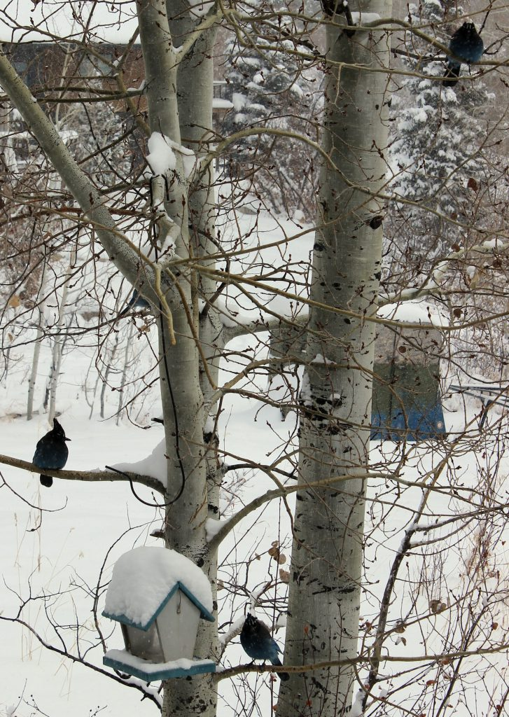 Three stellar jays visit a tree on a snowy day in Steamboat Springs.