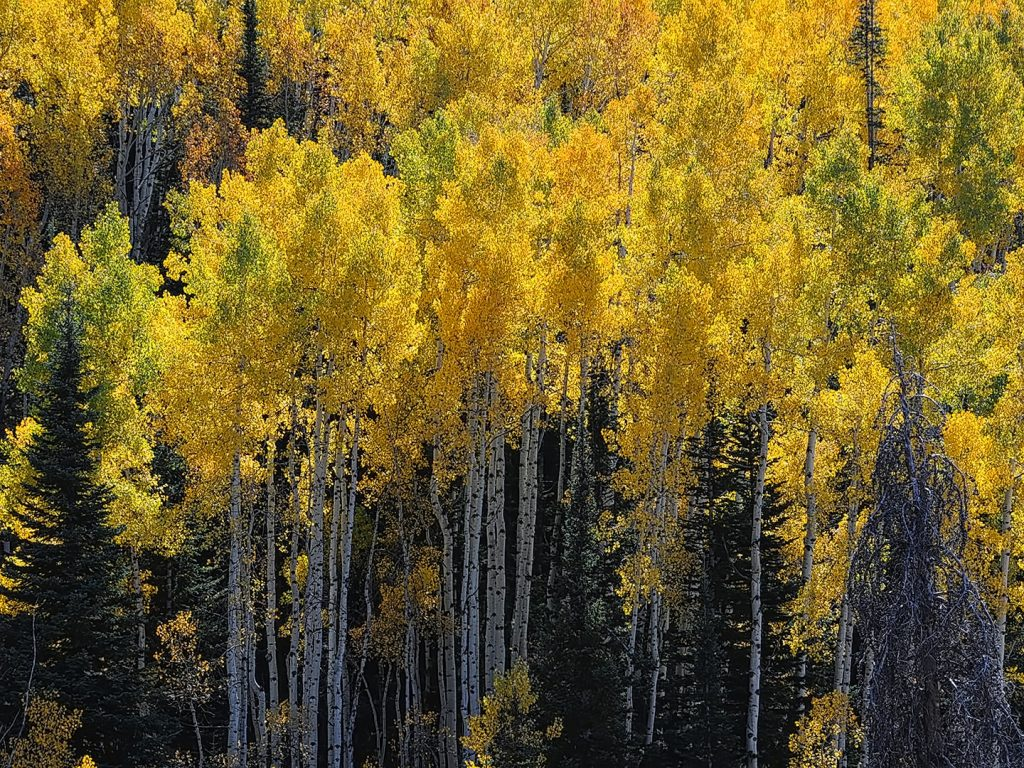 Buffalo Pass' aspens shed their summer green for fall's golden hue.