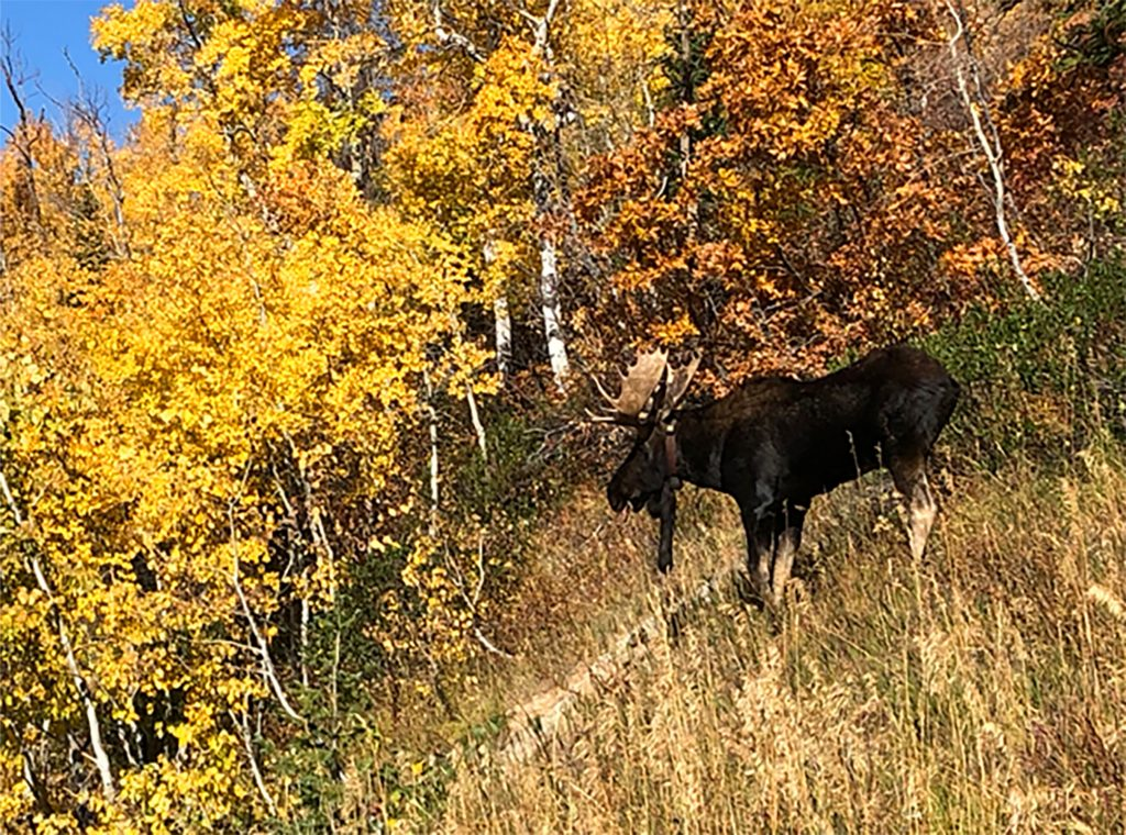 Moose on the Mountain