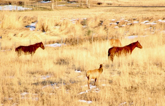 Local elk grazing with friends.