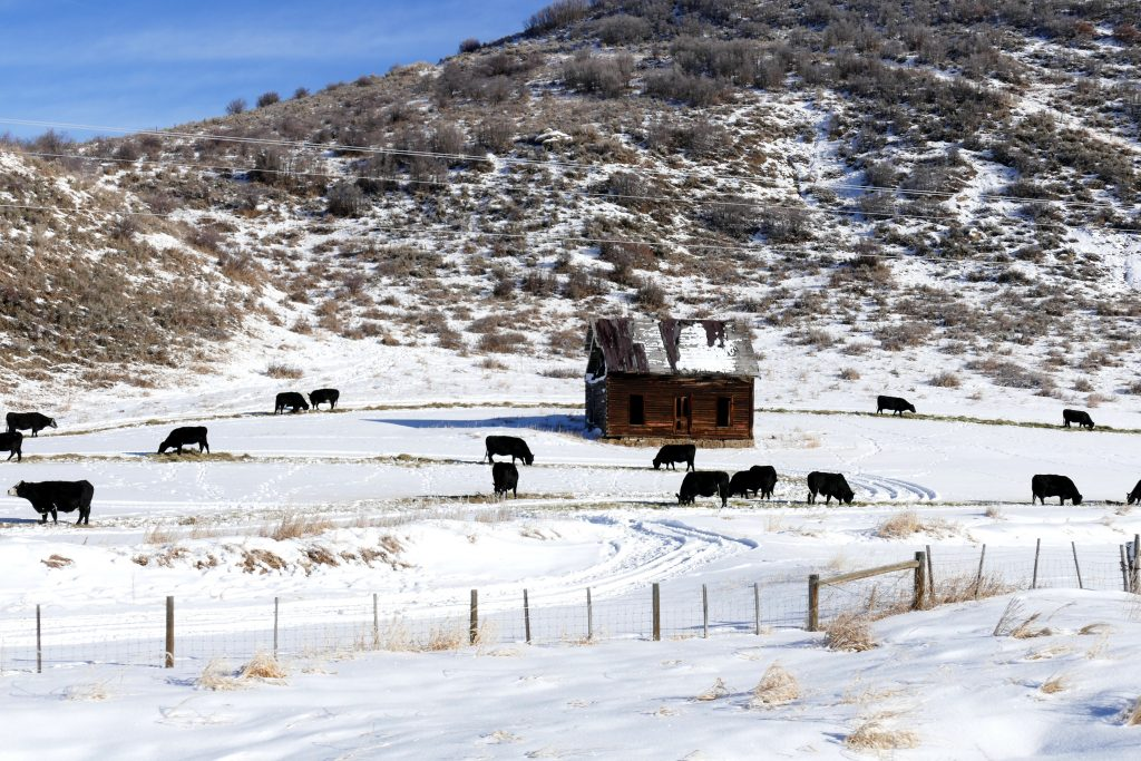 Here are some cows grazing near an old abandoned cabin outside of Hayden.