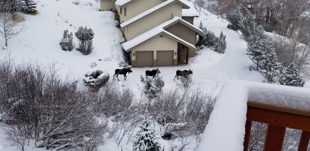 Three moose make their way down a driveway in Steamboat Springs.