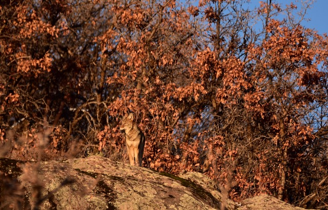 A coyote is seen enjoying a peak of sunlight on a cold afternoon.
