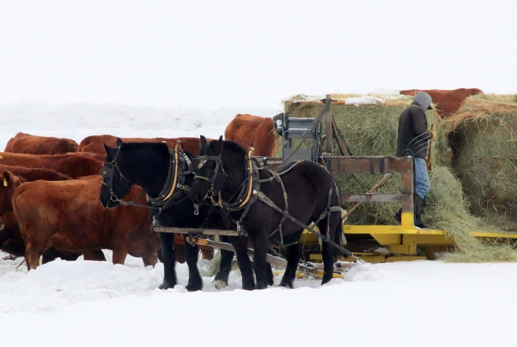 Horses at Sherrod Ranch work by voice commands as the driver forks hay off the sled for cows.