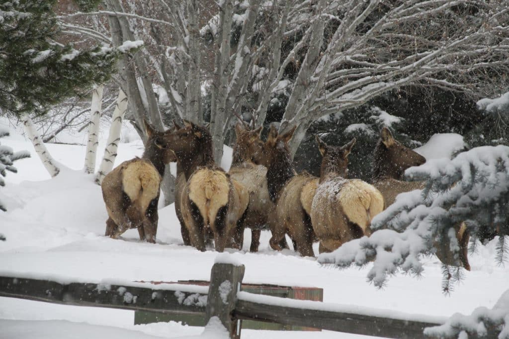 A herd of elk hang out along Steamboat Boulevard.