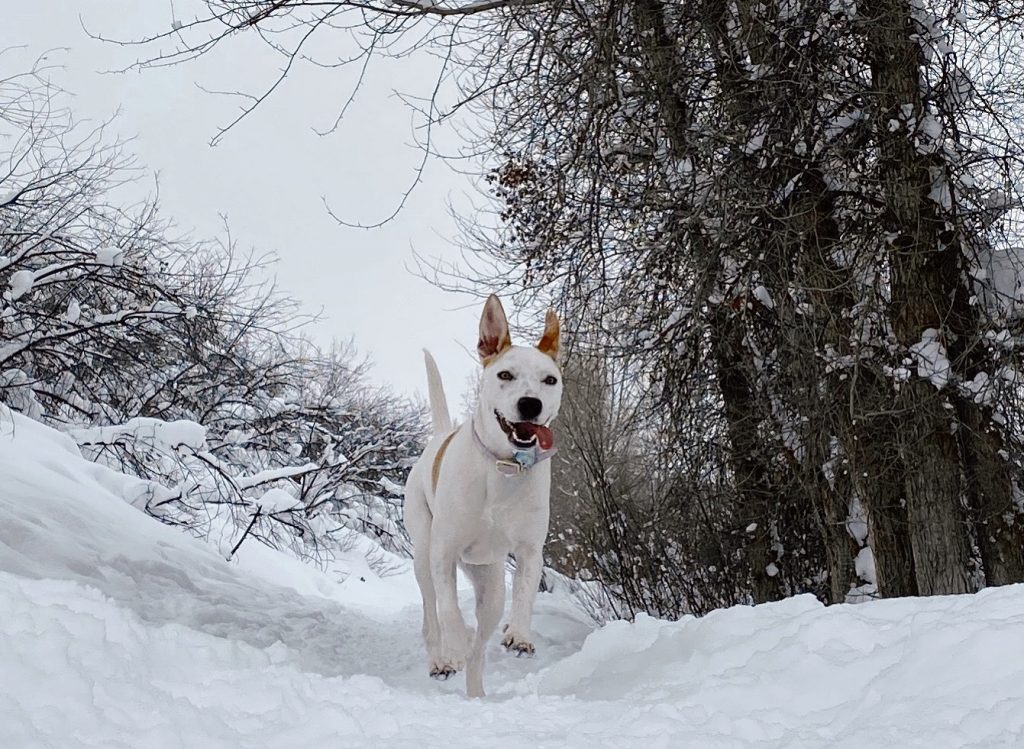 A dog enjoys the snow on Spring Creek Trail.