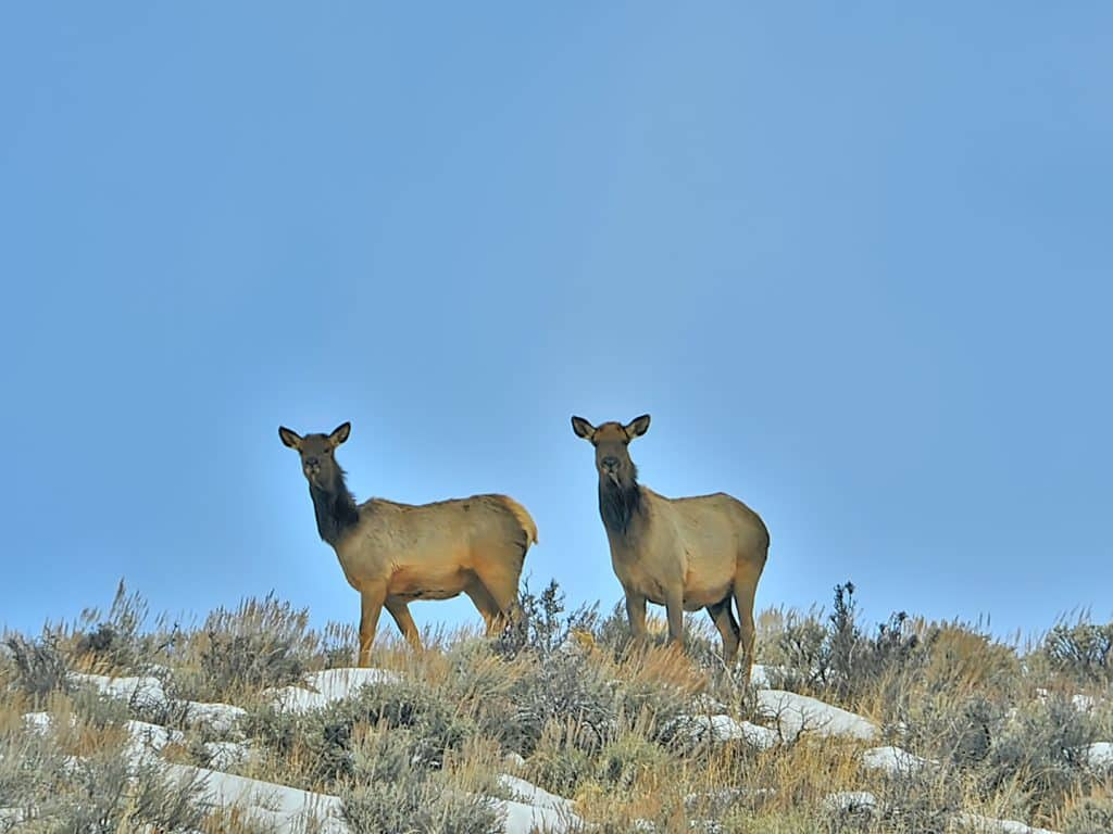 Elk stare down to the road along Colorado Highway 131 near Wolcott.
