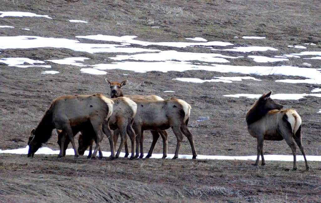 This group of elk was hanging out near the base of Steamboat Resort today, in an area near the Arnold Barn and Wildhorse Meadows.