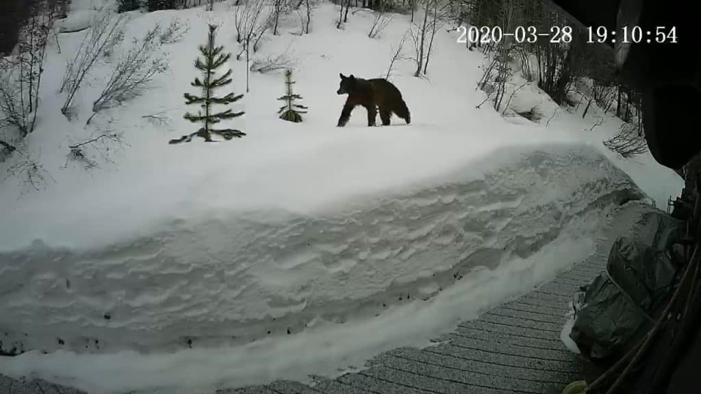 This photo was taken yesterday by the game camera mounted on our back deck on Chanterelle Way (off Overlook Dr.). He is very skinny and hungry.