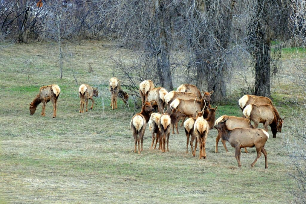 A small herd of elk and a moose and her calf were all easily visible from Hwy 40 in Steamboat Springs this evening. This was along the Yampa River and the railroad tracks through town.