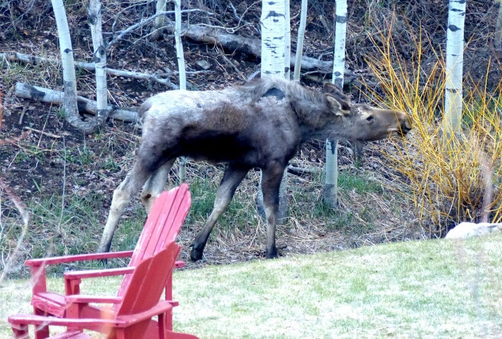 This moose was spotted on Steamboat Blvd. this morning, as I was headed to the grocery store.