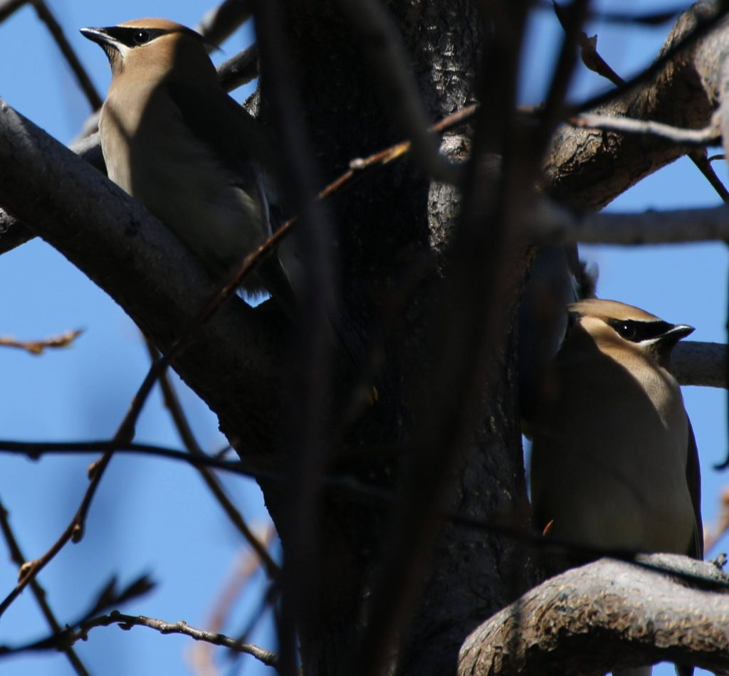 cedar waxwing returns!