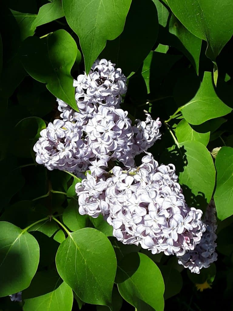 Now it's lilac season.