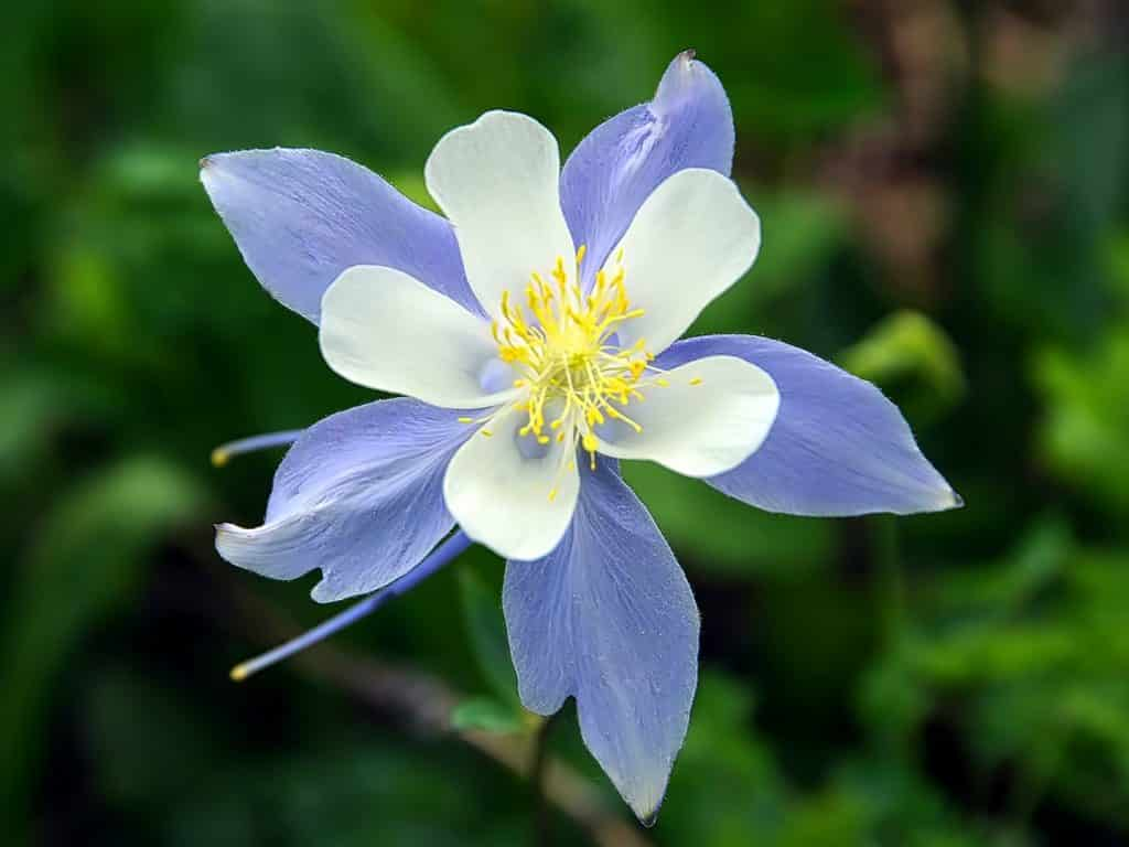 Columbines are blooming.  Mt. Zirkel Wilderness