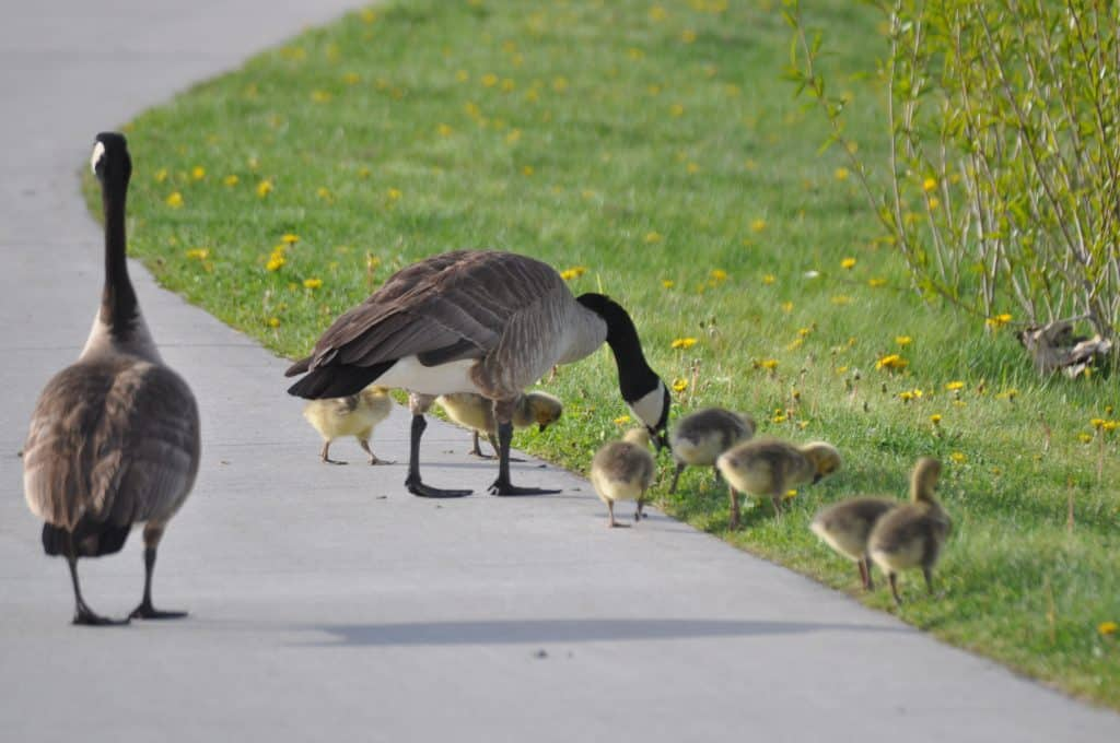 New baby geese at Casey's Pond in Steamboat Springs.