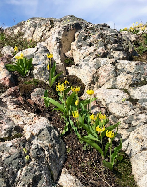 Spring time is here. Beautiful glacier lilies in Steamboat
