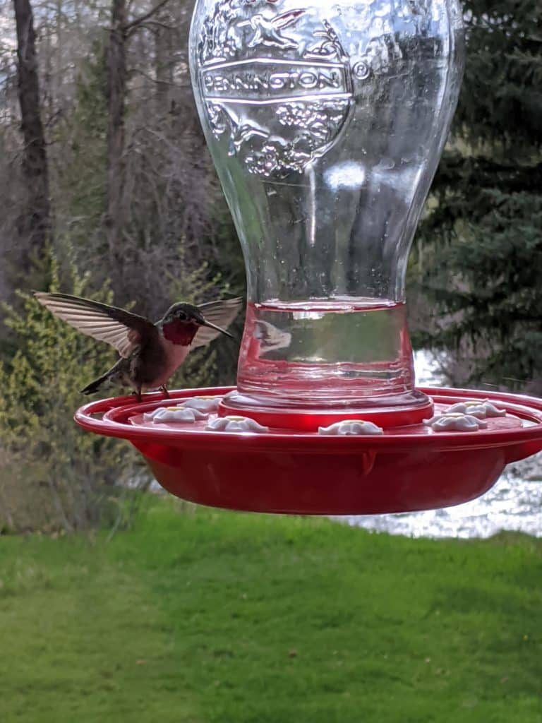 This picture was taken over the weekend at our home in Steamboat, with Fish Creek in the background. The hummingbird is a frequent visitor this spring.