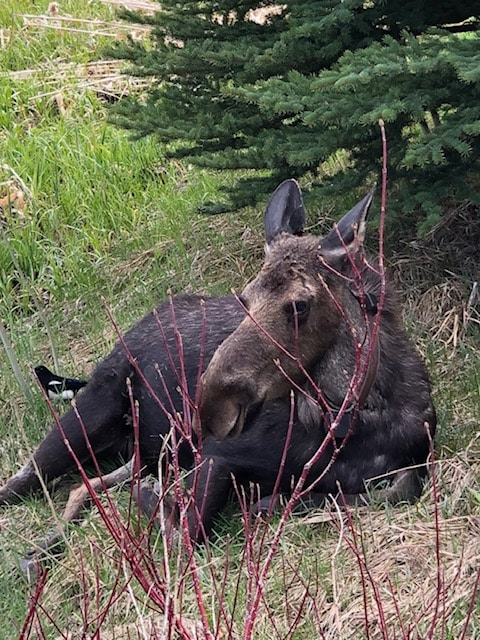 Mother's Day moose; I was on the other side of the pool fence so I was safe!
