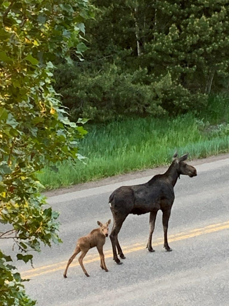 Moose family in Routt County.