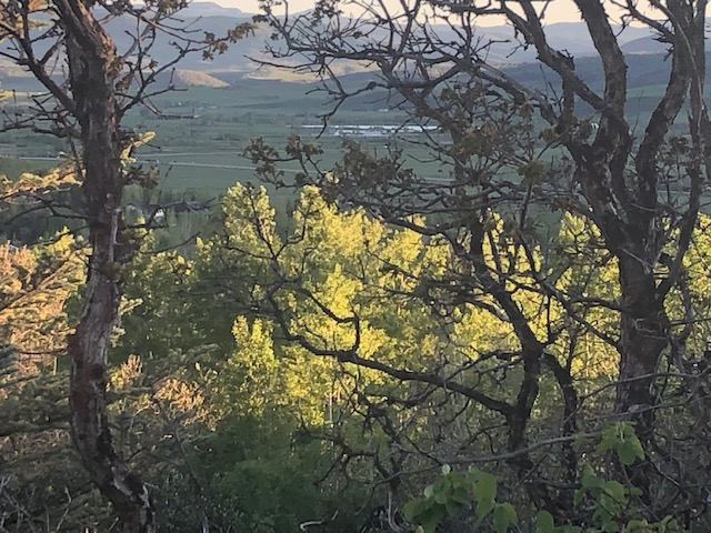 Sunset behind scrub oaks.